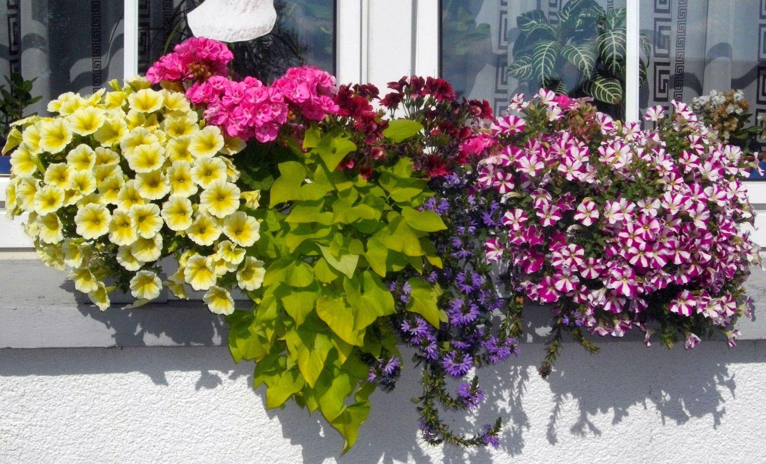 Blumen-Hecktor